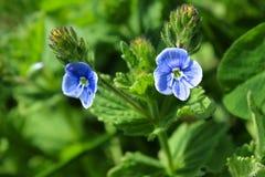 两朵蓝色小的花 开花的植物 免版税库存照片