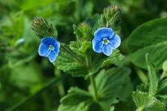 两朵蓝色小的花 开花的植物 库存照片