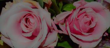 两朵软的桃红色玫瑰特写镜头照片  图库摄影