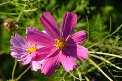 两朵锦葵属花 免版税库存图片