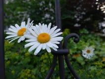 两朵雏菊在篱芭旁边的一个庭院里 库存照片
