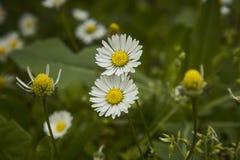 两朵雏菊花 库存图片