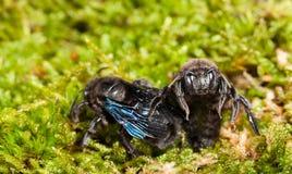 两朵紫罗兰坐在青苔的木蜂 库存图片
