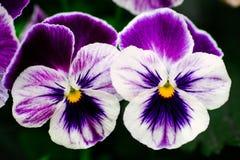 两朵紫罗兰色蝴蝶花 免版税库存图片