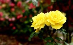 两朵黄色玫瑰在庭院里 库存图片