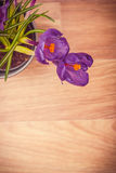 两朵紫色番红花特写镜头 免版税图库摄影