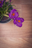两朵紫色番红花 图库摄影