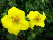 两朵黄色花开花 库存照片