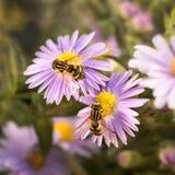 两朵从紫色花的花飞行饮用的花蜜 库存照片