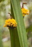 两朵黄色花,一在焦点,一个没有 免版税库存图片