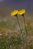 两朵黄色花 免版税库存照片