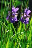 两朵紫色虹膜花 库存照片