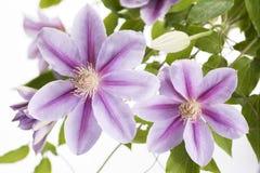 两朵紫色铁线莲属花 库存照片
