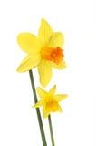 两朵黄水仙花 图库摄影