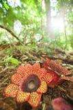 两朵Rafflesia Sapria himalayana Griff花在小山常青森林地面的绽放 季节具体 时数横向季节冬天 免版税库存照片