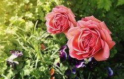 两朵Res玫瑰在有平衡的su的庭院里一起开花 库存图片
