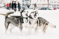 两条一起滑稽的多壳的狗戏剧室外在雪冬日 免版税库存图片