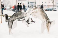 两条一起滑稽的多壳的狗戏剧室外在雪冬日 库存图片