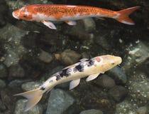 两条五颜六色的Koi鱼 免版税库存图片