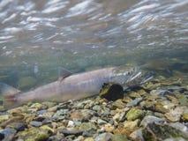 两条产生的三文鱼特写镜头在河在阿拉斯加,美国 库存照片