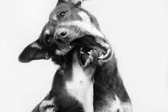 两条使用的街道狗在加德满都 免版税图库摄影
