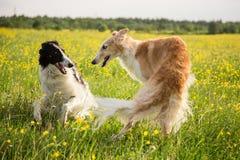 两条俄国俄国猎狼犬狗获得乐趣在毛茛草甸 演奏在领域的俄国猎狼犬狗画象  免版税图库摄影