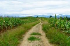 两条农村路有两棵甜玉米植物 免版税库存照片