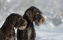 两条反对雪的棕色狗画象 免版税库存照片
