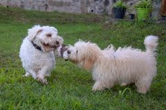两条在草本的白色狗戏剧 免版税图库摄影