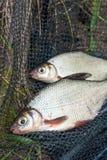 两条在黑渔的淡水鱼白色鲂或银鱼 免版税图库摄影