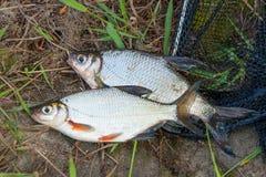 两条在黑渔的淡水鱼白色鲂或银鱼 图库摄影