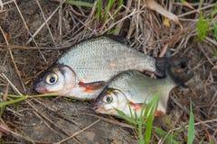 两条在黑渔的淡水鱼白色鲂或银鱼 库存图片