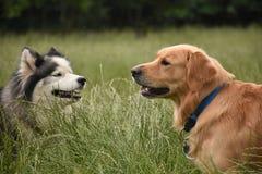 两条大狗见面 库存照片