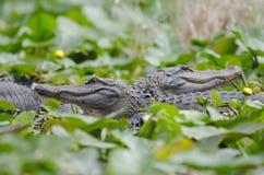 两条大美国短吻鳄, Okefenokee沼泽全国野生生物保护区 图库摄影