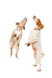 两条嬉戏狗跳跃 库存照片
