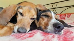 两条对边的狗睡觉的边的逗人喜爱的片刻 男性和一条母狗的爱恋的片刻