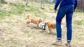 两条小棕色和白色狗使用精力充沛地 股票录像