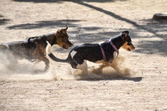 两条小狗使用与在一个多灰尘的操场的一个球 免版税库存图片