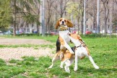 两条小猎犬狗在使用和跳跃与耳朵的公园被举 免版税库存照片