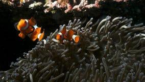 两条小的小丑鱼保卫他的银莲花属 免版税库存照片