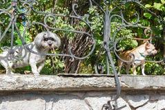 两条小纯净的品种狗在庭院里 库存照片