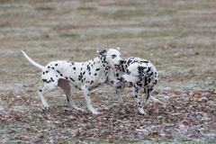两条年轻美好达尔马希亚狗跑 选择聚焦 免版税库存图片