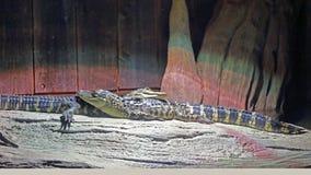 两条年轻鳄鱼睡觉 免版税图库摄影