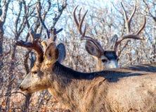 两条强大大型装配架鹿横穿道路 免版税库存照片