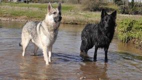 两条德国牧羊犬狗在水中 库存图片