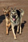 两条德国牧羊犬狗 免版税库存照片