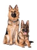 两条德国shpherd狗 免版税库存照片