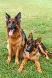 两条愉快的德国牧羊犬狗 免版税库存照片
