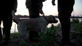 两条拉布拉多猎犬站立的下条所有者腿 狗和所有者休息室外 影视素材