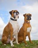 两条拳击手狗 库存图片